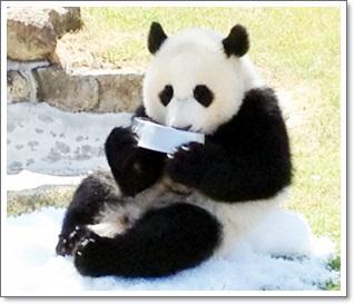 パンダが笹・竹を食べる理由M