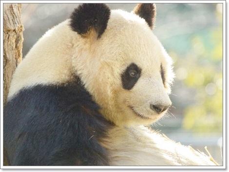パンダが笹・竹を食べる理由B