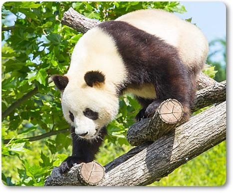 パンダが笹・竹を食べる理由G