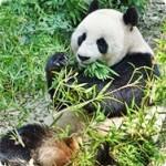 パンダが笹・竹を食べる理由 熊の仲間がなぜ草食?