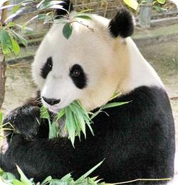 パンダが笹を食べる写真画像