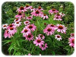 花粉症にハーブティーが意外な効果E