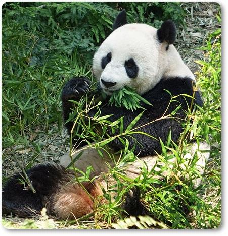 パンダが笹・竹を食べる理由F