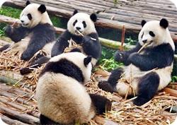 パンダがいっぱいの画像