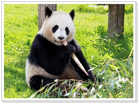 パンダが笹・竹を食べる理由D
