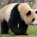 パンダはなぜ白黒模様なのかアイキャッチ画像