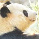 動物の癒し動画パンダに胸キュンアイキャッチ画像