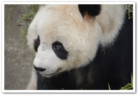 パンダはなぜ白黒模様E
