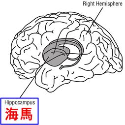 男女の脳の違い海馬のイラスト