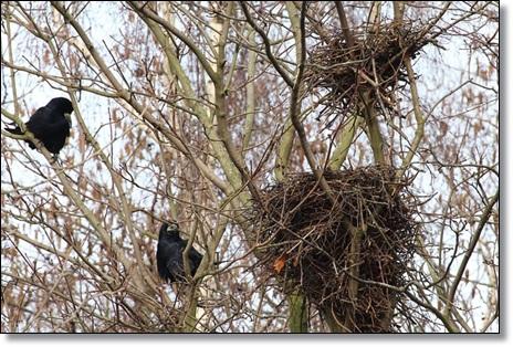カラスが鳴く理由カラスの巣