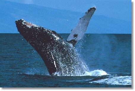 イルカとクジラの違いクジラの写真