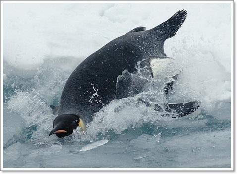 皇帝ペンギンの泳ぎ