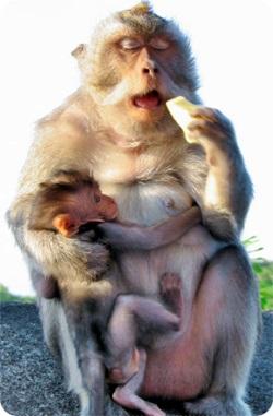 サルの母子