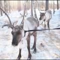 トナカイと鹿の違いアイキャッチ画像