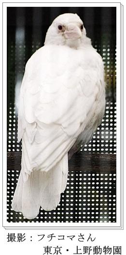 白いカラスの画像(上野動物園)