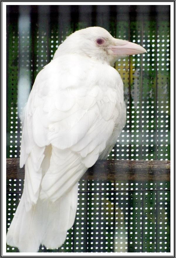 白いカラスの画像(上野動物園2)
