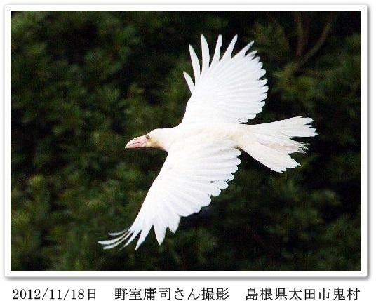 白いカラスの飛ぶ画像(野室さんより掲載許可ok)