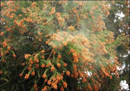 スギ花粉飛散の画像