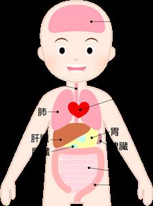 腸の位置の図解イラストA