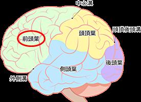 脳の前頭葉のイラストA