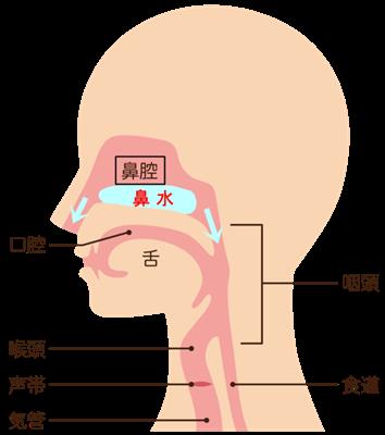 鼻腔の中の鼻水の流れの画像