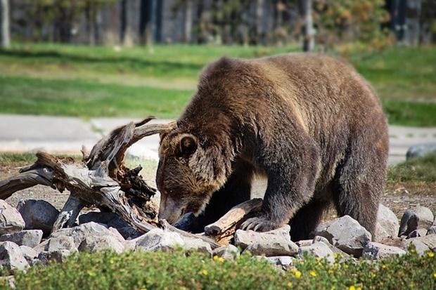 餌をあさる熊の画像
