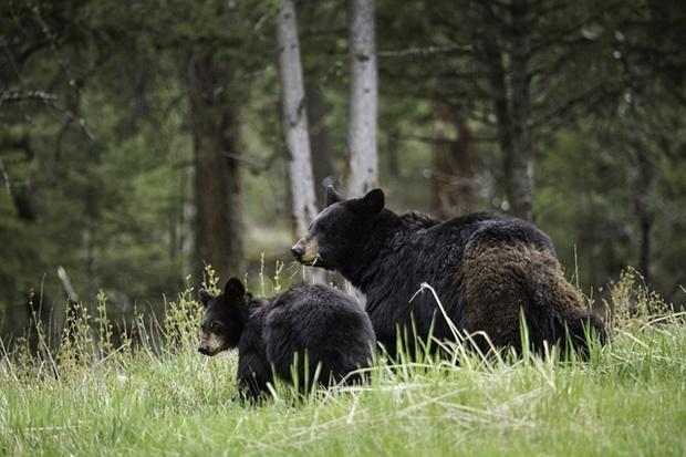 子連れの母熊の画像