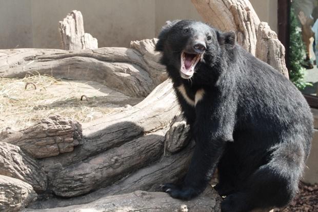 熊対策ツキノワグマの画像@