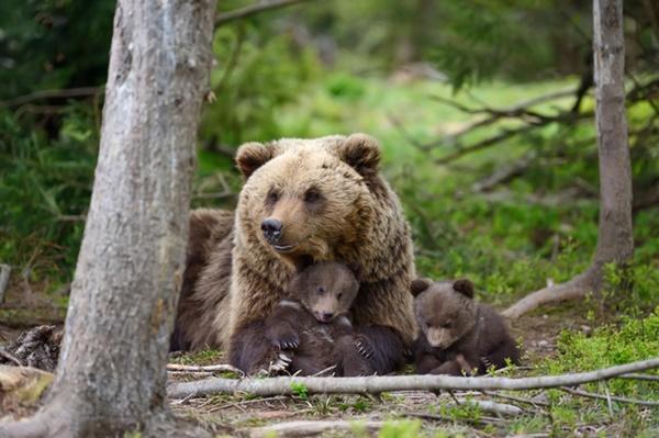有料写真 熊の親子の画像