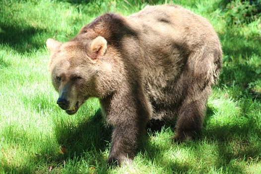 人に近づいてくる熊の画像