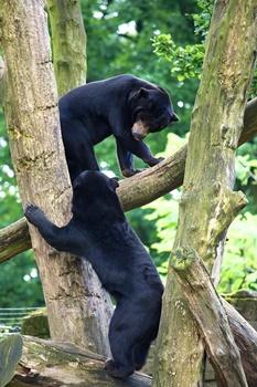 木登りする熊たちの画像