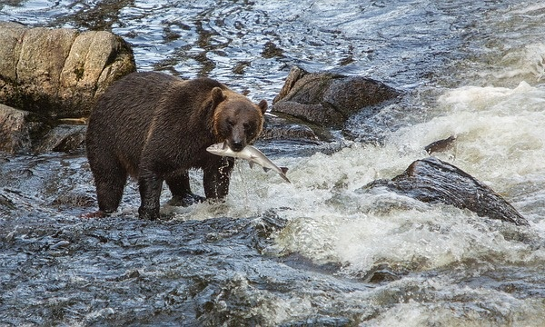 魚を咥えている熊の画像