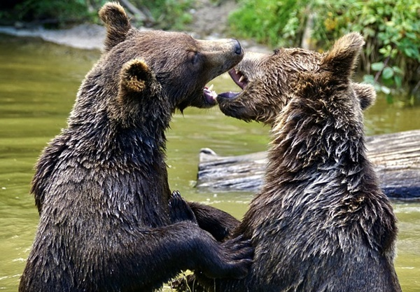 二頭の熊の画像