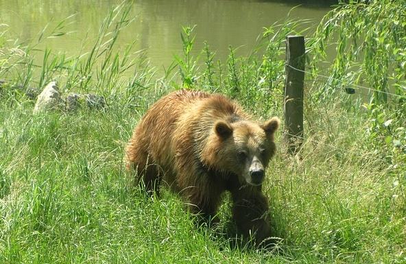 人里に来る熊の画像