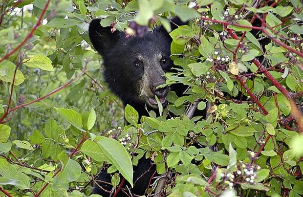森の中に隠れる熊の画像