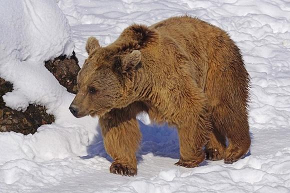 雪山を歩き回る熊の画像