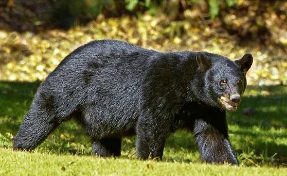 登山・キャンプでの熊対策の画像
