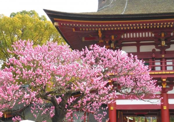 大宰府の梅の画像