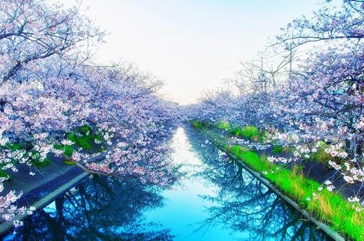水面に映る桜の風景画像