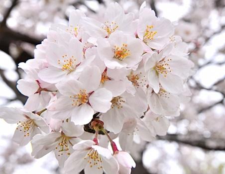 ソメイヨシノの桜の画像
