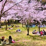 お花見の起源・由来・歴史を簡単に分かりやすく!日本人はなぜ桜好き?