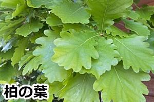 柏の木の葉の画像