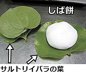 サルトリイバラの葉を使った柏餅の一種「しば餅」の画像